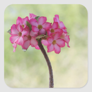 Desert rose square sticker