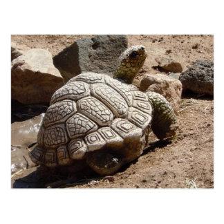 Desert Tortoise - American Southwest Postcard