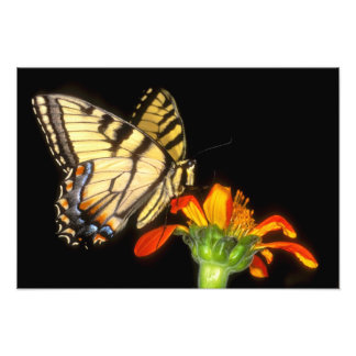 Detail of a captive western tiger swallowtail photo print