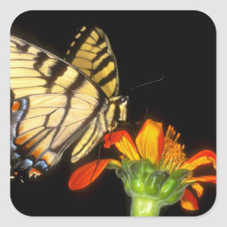 Detail of a captive western tiger swallowtail square sticker