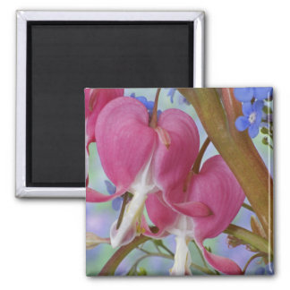 Detail of bleeding hearts and Brunnera Jack Square Magnet