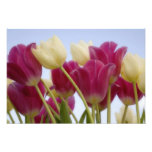 Detail of tulips. Credit as: Don Paulson / Art Photo
