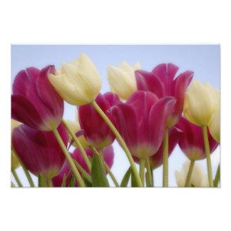 Detail of tulips. Credit as: Don Paulson / Photo Print