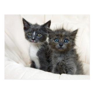 Deux chatons tigrés cartes postales
