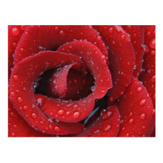 Dew covered red rose decorating grave site in postcard