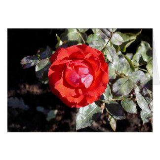 Dewy Rose Card
