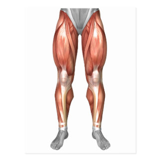 Diagram Illustrating Muscle Groups On Leg Front Postcard