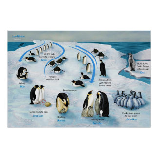 Diagram of a Life Cycle of the Emperor Penguin Poster
