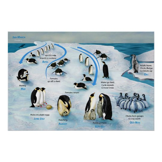 diagram of a life cycle of the emperor penguin poster zazzle ca