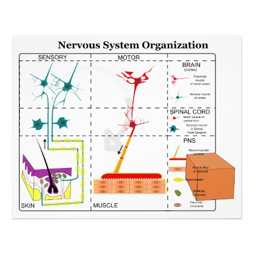 Diagram of Basic Nervous System Functions Photo Print
