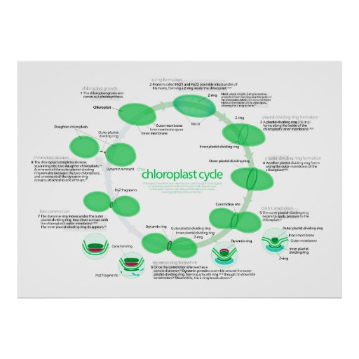 Diagram of Chloroplast Replication Cycle Poster