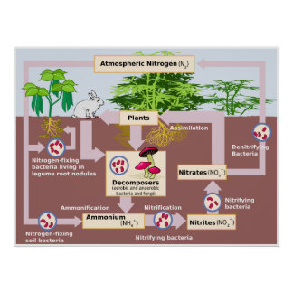 Diagram of Earth's Nitrogen Cycle Poster