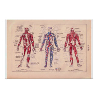 Diagram of the human body, French 1920 Poster