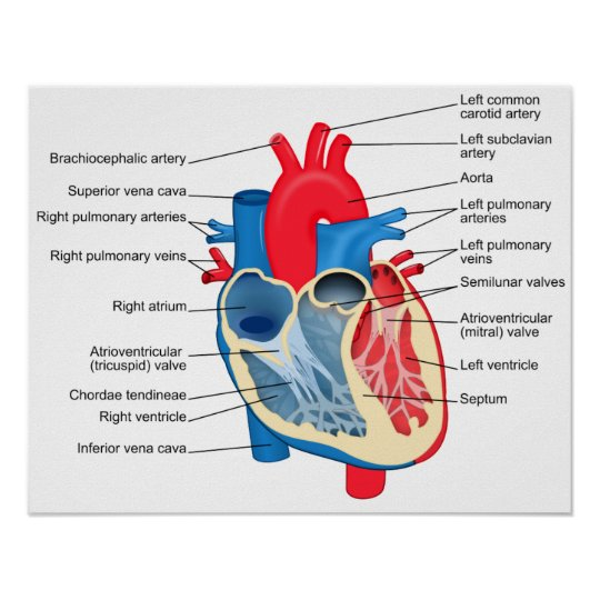 Diagram Of The Human Heart Poster Zazzle Ca