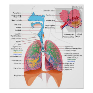 Diagram of the Human Respiratory System Poster