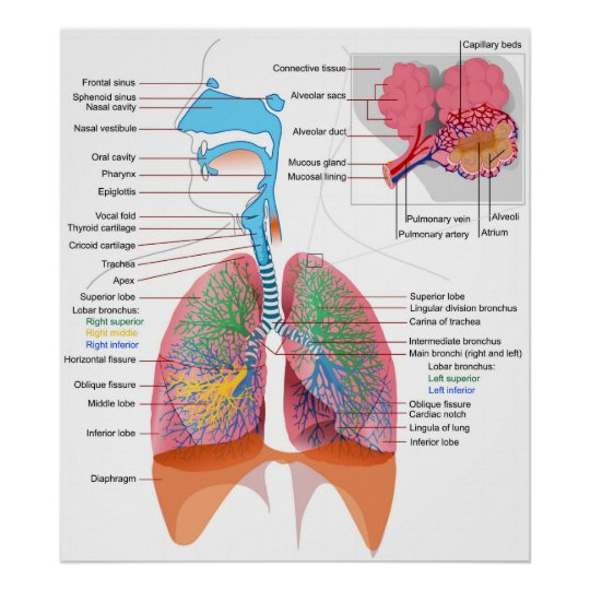 Diagram Of The Human Respiratory System Poster Zazzle