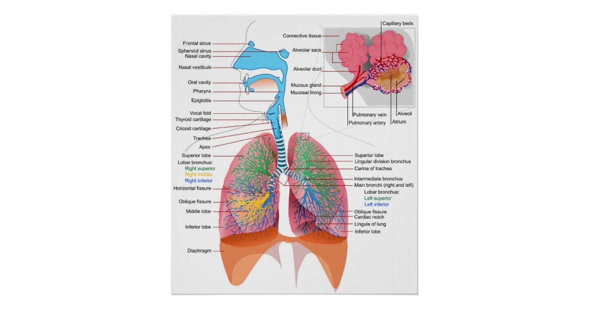 Diagram Of The Human Respiratory System Poster Zazzle Ca