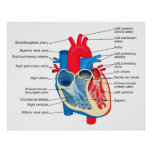 Diagram of the Individual Parts of the Human Heart Print