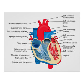 Diagram of the Individual Parts of the Human Heart Poster