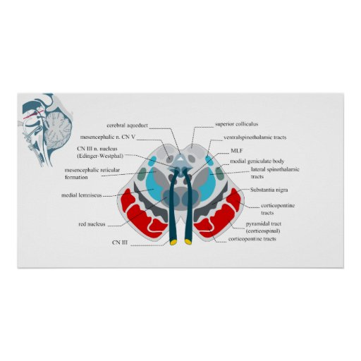 Diagram of the Midsection of the Human Brain Poster
