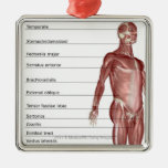 Diagram of the muscular system metal ornament