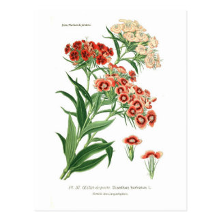 Dianthus barbatus (Sweet William) Postcard