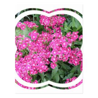 Dianthus Perennial Postcard