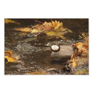 Dipper In Autumn River Art Photo