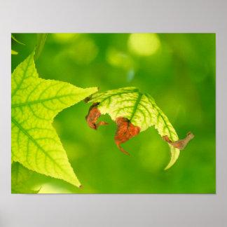 Diseased Maple Leaf Poster