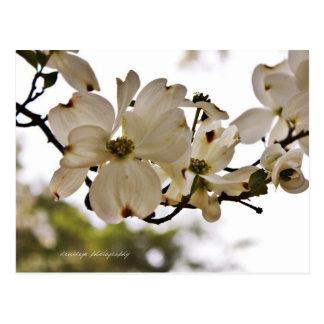 Divine Dogwood Spring Postcard
