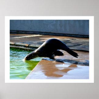 Diving Californian sea lion Poster