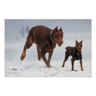 Doberman and Min Pin - LOOK! A Mini Me! Poster