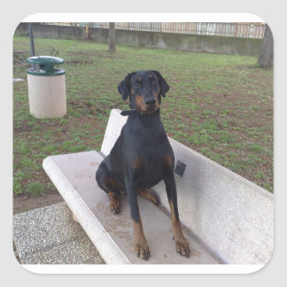 doberman pincher sitting square sticker
