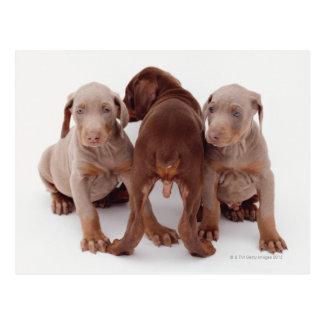 Doberman Pinscher Puppies Postcard