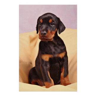 Doberman Puppy Poster