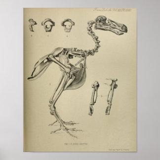 Dodo Didus Ineptus Extinct Bird Skeleton Print