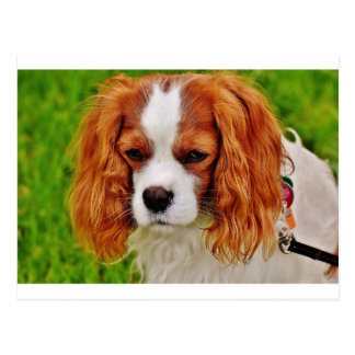 Dog Cavalier King Charles Spaniel Funny Pet Animal Postcard