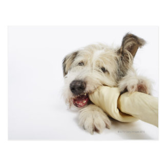 Dog Chewing on Rawhide Bone Postcard