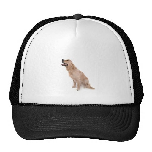 dog - golden retriever hat