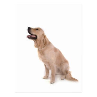 dog - golden retriever postcard
