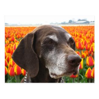 dog in a tulip field postcard