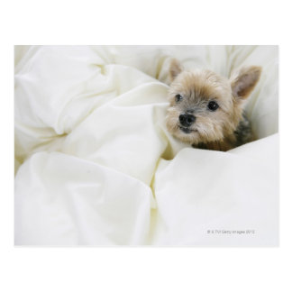 Dog in bed postcard