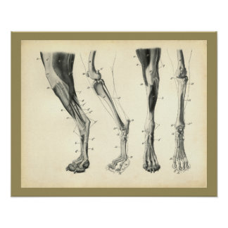 Dog Leg Bones Muscle Veterinary Anatomy Print