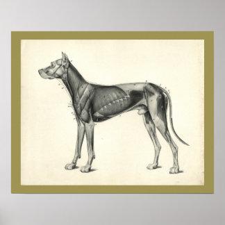Dog Muscle Veterinary Anatomy Print