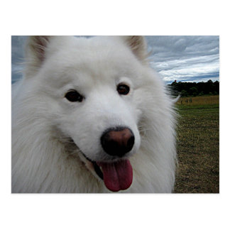 Dog Park Samoyed Postcard