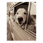 Dog Peeking Out a Car Window Postcard
