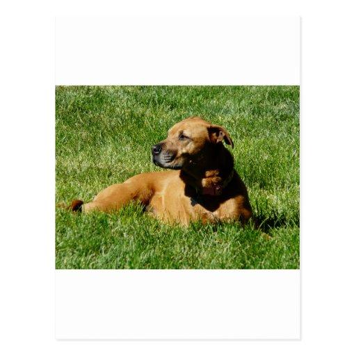 dog,pitbull/boxer mix post cards