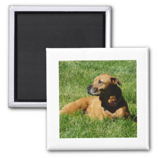 dog,pitbull/boxer mix square magnet