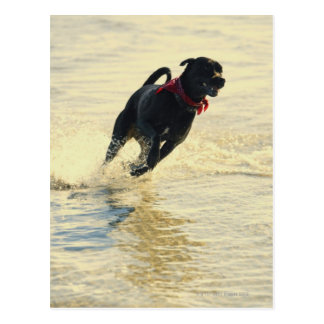 Dog running in water postcard