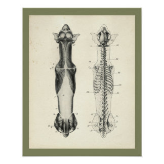 Dog Skeleton Spinal Column Muscles Anatomy Print